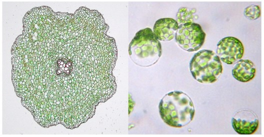 Microscope images of root cells in their natural state (left) and after protoplasting (right)