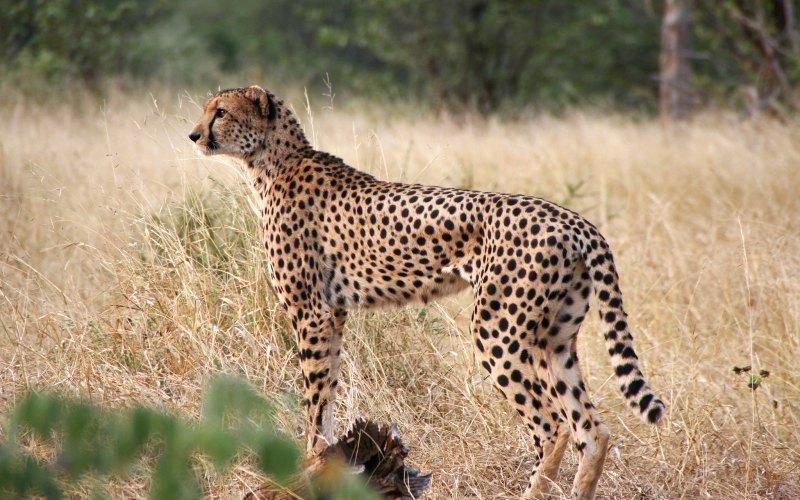 Motorist Arrested for Running over Cheetah in Kruger Park (News Central TV)