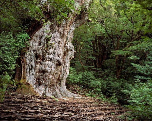 World's Oldest trees