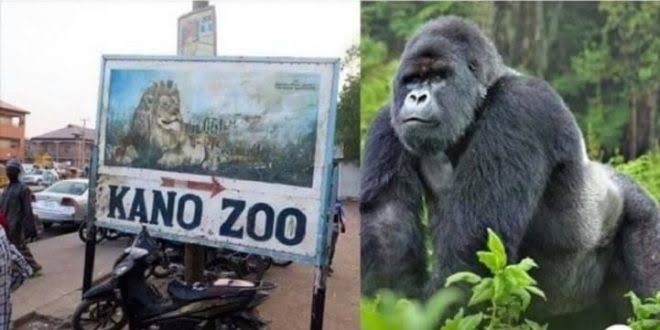 Gorilla,Kano Zoo