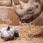 Folly Farm celebrates birth of endangered Eastern Black Rhino