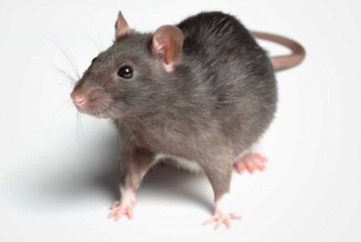 आर मने रैट, रैट मने चूहा...देखिए सियासत के इन प्रपंची चूहों की रैट रेस