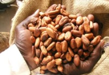 Dried Cocoa Beams