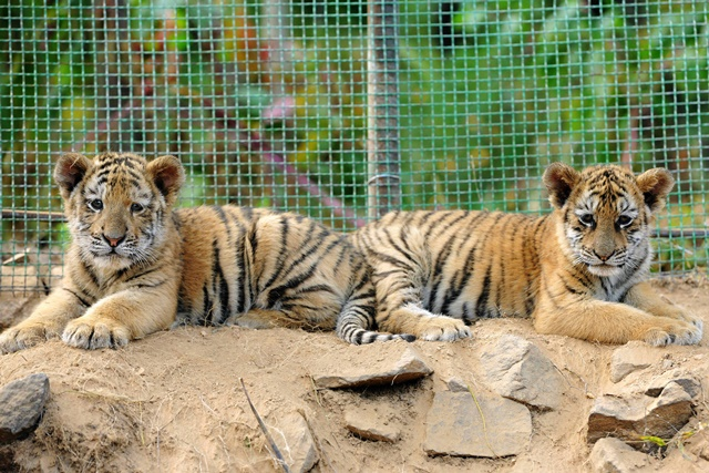 Two manchurian tiger cubs take a rest at Qingdao Forest Wildlife World in Qingdao, east China's Shandong Province, Sept. 26, 2015. Seven manchurian tiger cubs and four African lion cubs here, all of which are three months old, met with the press recently. (Xinhua/Yu Fangping) (lfj)