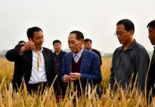 "Yuan Longping (second left), the ""father of hybrid rice"", checks the growth of hybrid rice in a field at an agricultural technology institute in Handan City, north China's Hebei province, October 15. (Photo by Shi Ziqiang from People's Daily)"