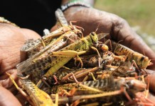 A local tour guide holds a handfull of dead desert locusts after an invasion in Shaba National Reserve in Isiolo, northern Kenya, 16 January 2020 (issued 18 January 2020). Large swarms of desert locusts have been invading northern Kenya for weeks, after having infested some 70,000 hectares of land in Somalia which the United Nations Food and Agriculture Organisation (FAO) has termed the 'worst situation in 25 years' in the Horn of Africa. FAO cautioned on 13 January 2020 that it poses an 'unprecedented threat' to food security and livelihoods in the region. The government is spraying pesticide in the affected areas to battle the insects. EPA/Daniel Irungu