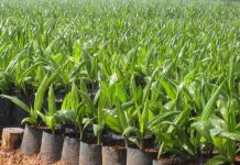 Palm Seedlings