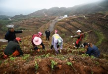 Villagers plant white tea seedlings in Pu'an county, Qianxinan Buyi and Miao Autonomous Prefecture in southwest China's Guizhou province after receiving the seedlings donated by Huangdu village, Anji county, east China's Zhejiang province on Oct. 22, 2018. Photo by Liu Chaofu, People's Daily Online