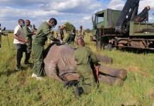 Kenya Wildlife Service (KWS) officials prepare to load one of the stray elephants on a truck in Kitengela, Kajiado County, Kenya, May 18, 2020. The KWS on Monday captured the three marauding elephants at Enkamuriaki, Kitengela area that had terrorized residents for three days. (Xinhua/Fred Mutune)