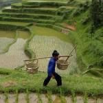 поставки риса