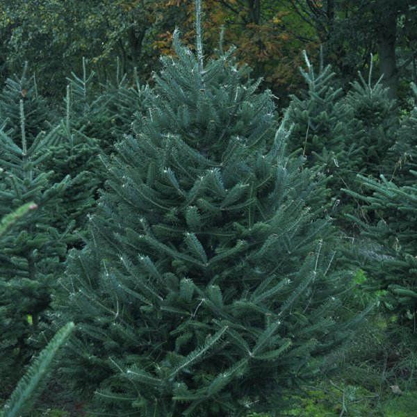 Fraser fir in the field