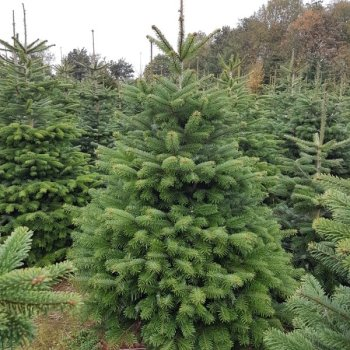 Nordman fir in the field