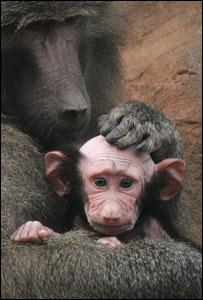 bald baby baboon @ Devon zoo