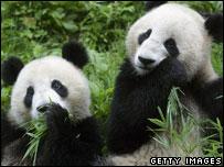 wolong pandas