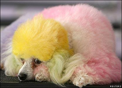 rainbowpoodle