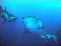 Whale shark, Image: Rachel T Graham