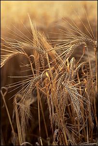 Barley (Image: National Non-Food Crops Centre)