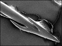 Un acercamiento del arpón del caracol Conus.