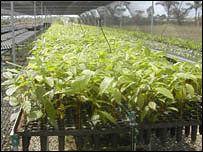 Mahogany seedlings.  Image: BBC