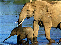 African elephant and her calf (Image: AP)