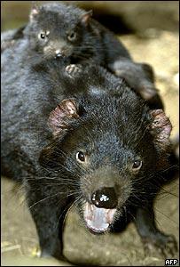 Como el tumor se desarrolla en la boca, los animales no pueden comer y se mueren de hambre.