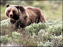 La población de osos pardos en Yellowstone ya no peligra, según el gobierno de EE.UU.