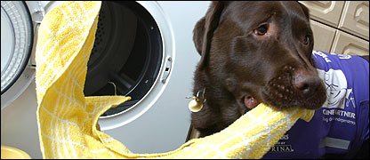 Labrador Frodo empties the washing