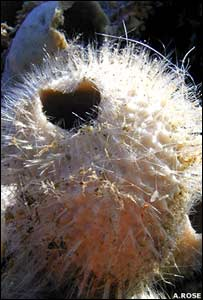 Esponja carnívora (Foto: A. ROSE)
