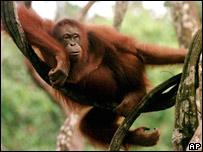 El estudio se basó en la evidencia de fósiles y en la observación de simios.