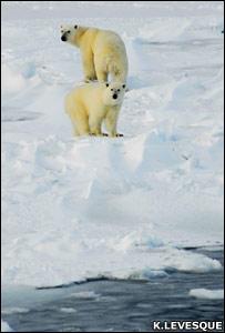 Polar bears (Keith Levesque)