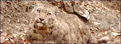 Bayad-e-Kohsaar (Snow Leopard Trust)