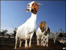 Goats (file image)