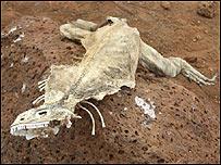 Esqueleto de iguana en las islas Galápagos