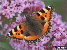 Small tortoiseshell (Jim Asher)