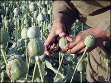 A man in an opium poppy field in Helmand. File photo