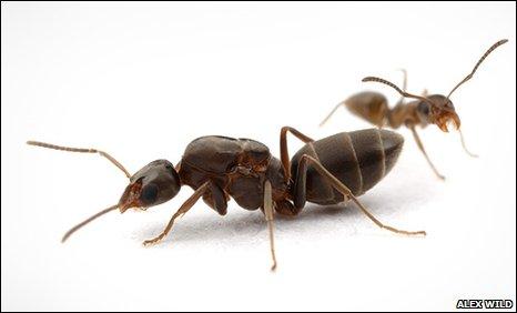 Ant mega-colony takes over world