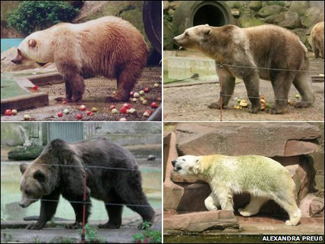 Image result for polar bear/brown bear hybrid