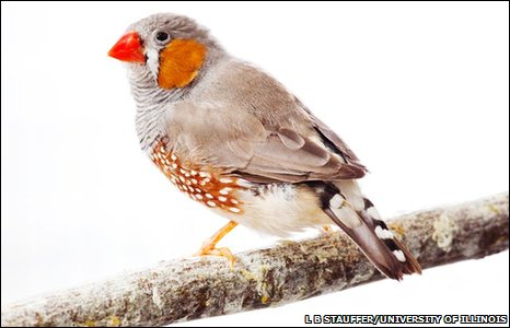 Zebra Finch; courteousy BBC