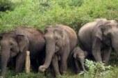 नकरौंदा में चार घंटे तक हाथियों ने मचाया उत्पात, फसल रौंदी