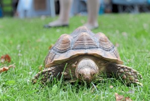Shango, an African spurred tortoise, snacks on grass near the Humane Animal Rescue booth at the 2017 VegFest in Allegheny Commons on the North Side. (Pam Panchak/Post-Gazette)