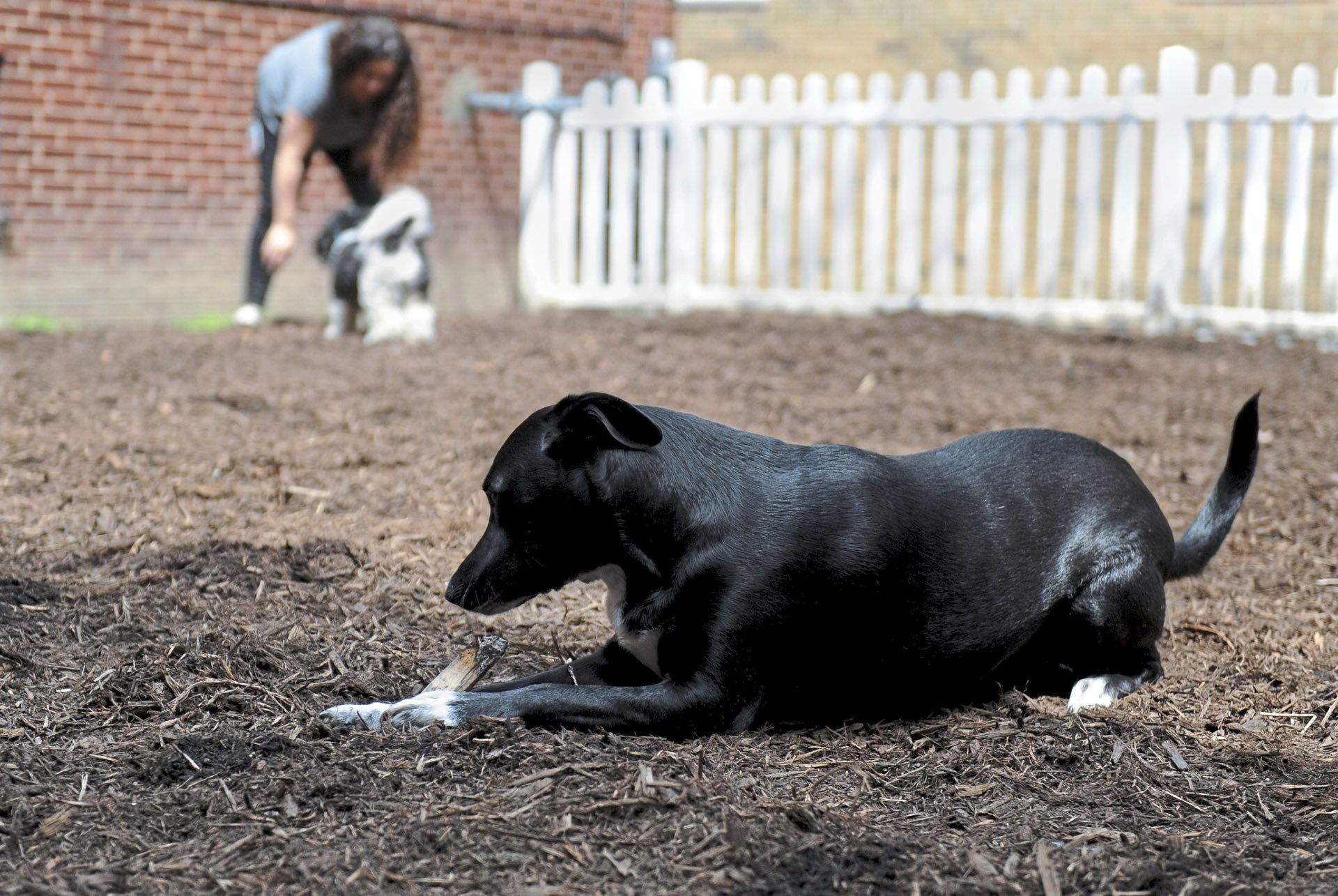 Quincey, 2, enjoys chewing on a stick in the new dog park at the Shadyside Inn All Suites Hotel, one of the new dog-friendly design and amenities offered at the hotel. (Pam Panchak/Post-Gazette)