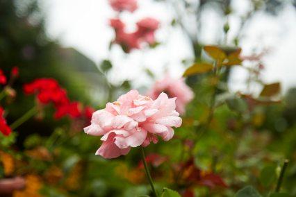 Lidia_GardenRose_1488