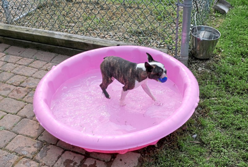 Blaze plays his toy in the pool at Davane Kennel Sunday, Aug 19, 2018 in Ohioville. For 39 years Tom and Joyce Davis have been raising Boston Terriers. (Lake Fong/Post-Gazette)