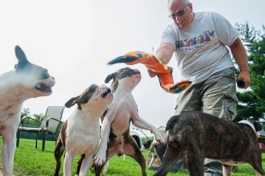 Tom Davis of Davane Kennel play with his Boston Terriers Sunday, Aug 19, 2018 in Ohioville. For 39 years Tom and Joyce Davis have been raising Boston Terriers. (Lake Fong/Post-Gazette)