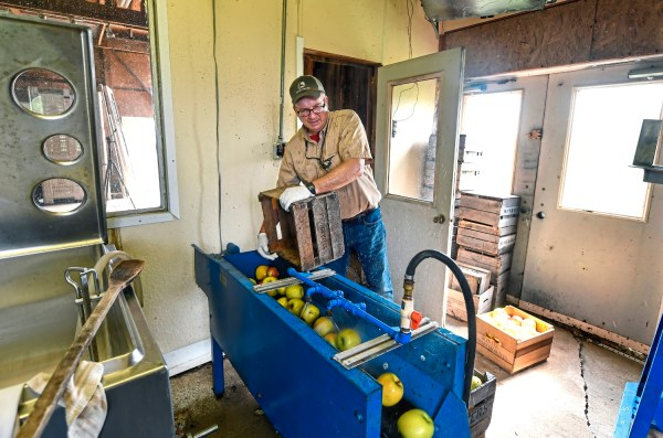Aaron Sturges, owner of Sturges Orchards, wash apples at his farm Monday Aug. 27, 2018, in Fombell, Beaver County. (Nate Guidry/Post-Gazette)