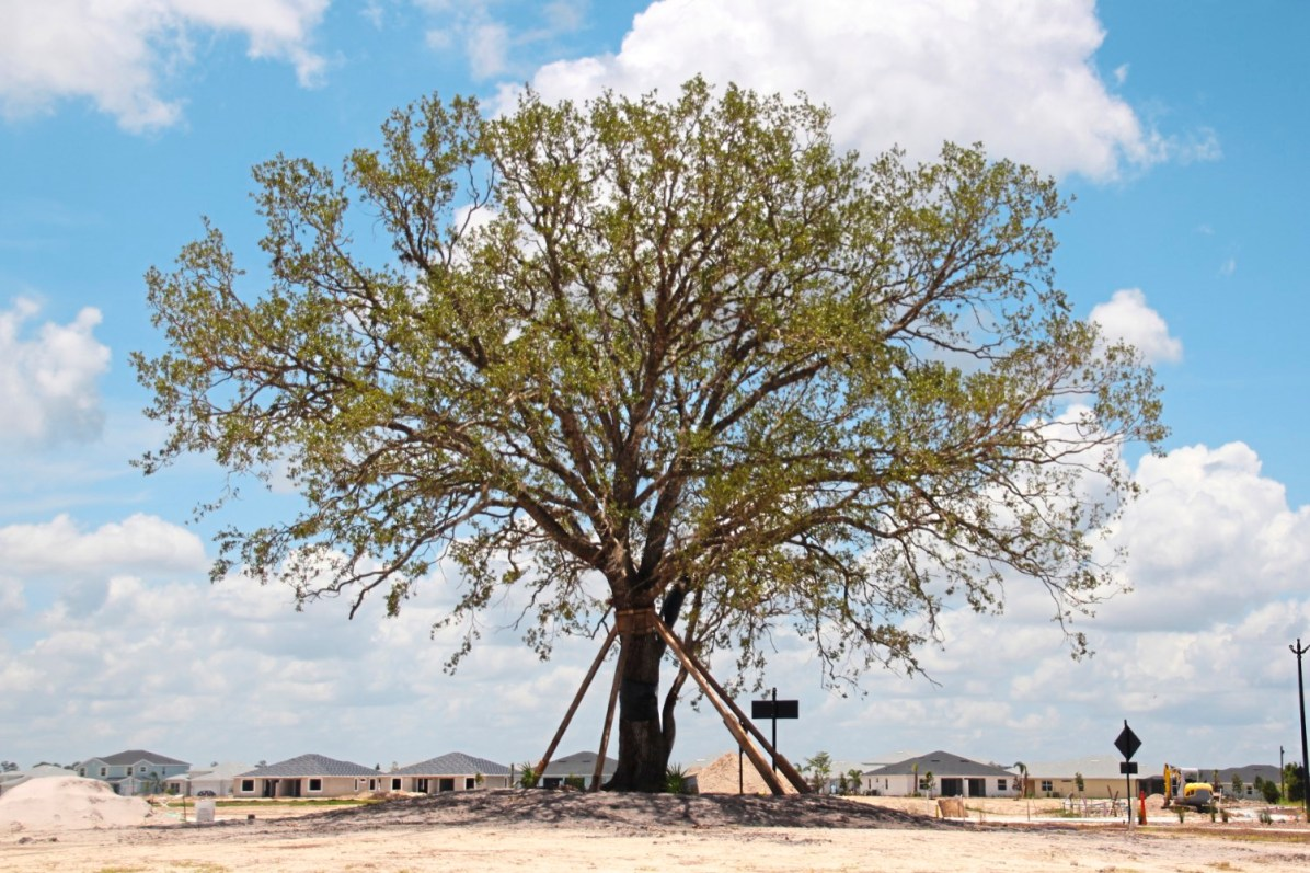 Distinction This live oak tree saved and transplanted by the root from another part of the development to a traffic circle in the new Babcock Ranch town. credit Patricia Sheridan
