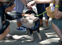 Phantom, a miniature pig soaks up the attention during the third annual Pittsburgh VegFest at Allegheny Commons on the North Side on Saturday, August 5, 2017. Phantom was a representative of the Pittsburgh Squealers and Belly Brothers Pig Rescue at the event. (Pam Panchak/Post-Gazette)