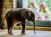 The Pittsburgh Zoo & PPG Aquarium's 4-week-old baby elephant meets the public for the first time at the elephant family room windows in Highland Park on July 7, 2017. (Andrew Rush/Post-Gazette)