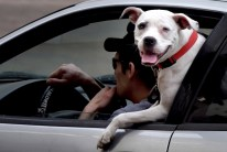 """""""Jersey"""" tries to get a better view as Dennis Chambers of Morgantown , W.Va. and his owner, drives along 5th Ave. in downtown Pittsburgh on a spring like day on Feb. 21. (Darrell Sapp/Post-Gazette)"""