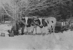 Both horses and cattle were used to pull the maple carts during the frigid months when the sap runs best for collection.